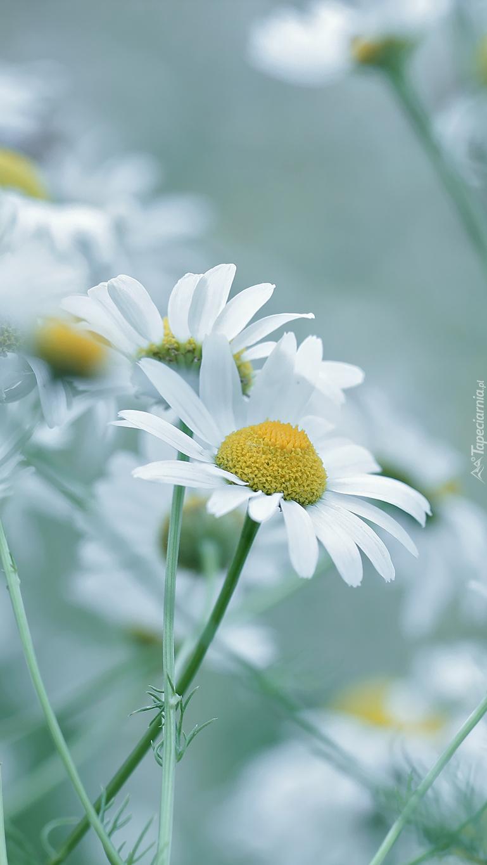 Kwiaty rumianu polnego