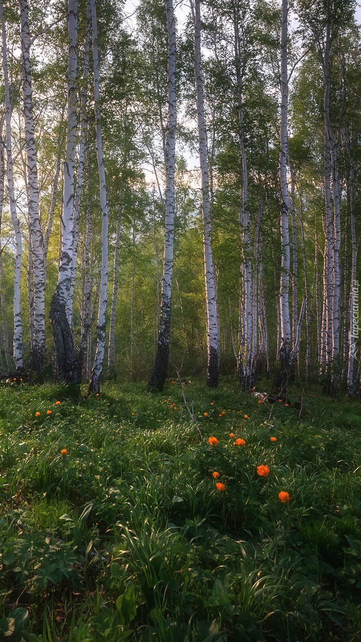 Kwiaty w brzozowym lesie