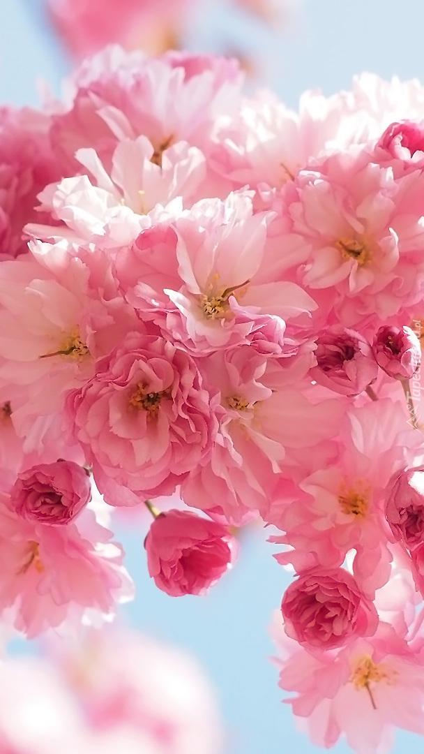 Kwiaty wiśni japońskiej