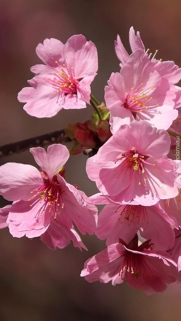 Kwiaty wiśni na gałązce