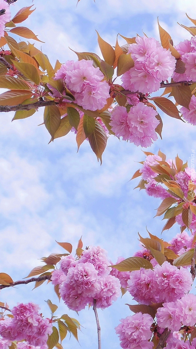 Kwiaty wiśni na tle nieba