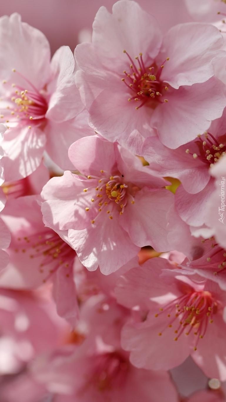 Kwiaty wiśni z pręcikami