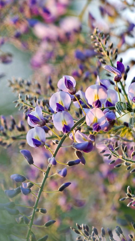 Kwitnąca akacja