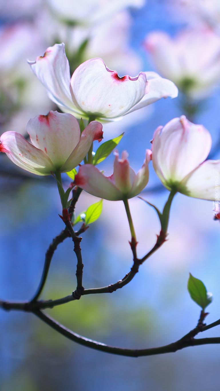 Kwitnąca gałązka derenia kwiecistego