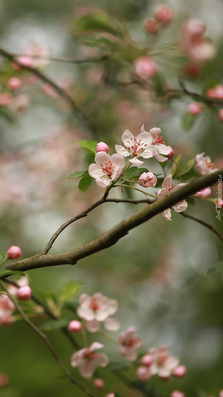 Kwitnąca gałązka drzewa owocowego