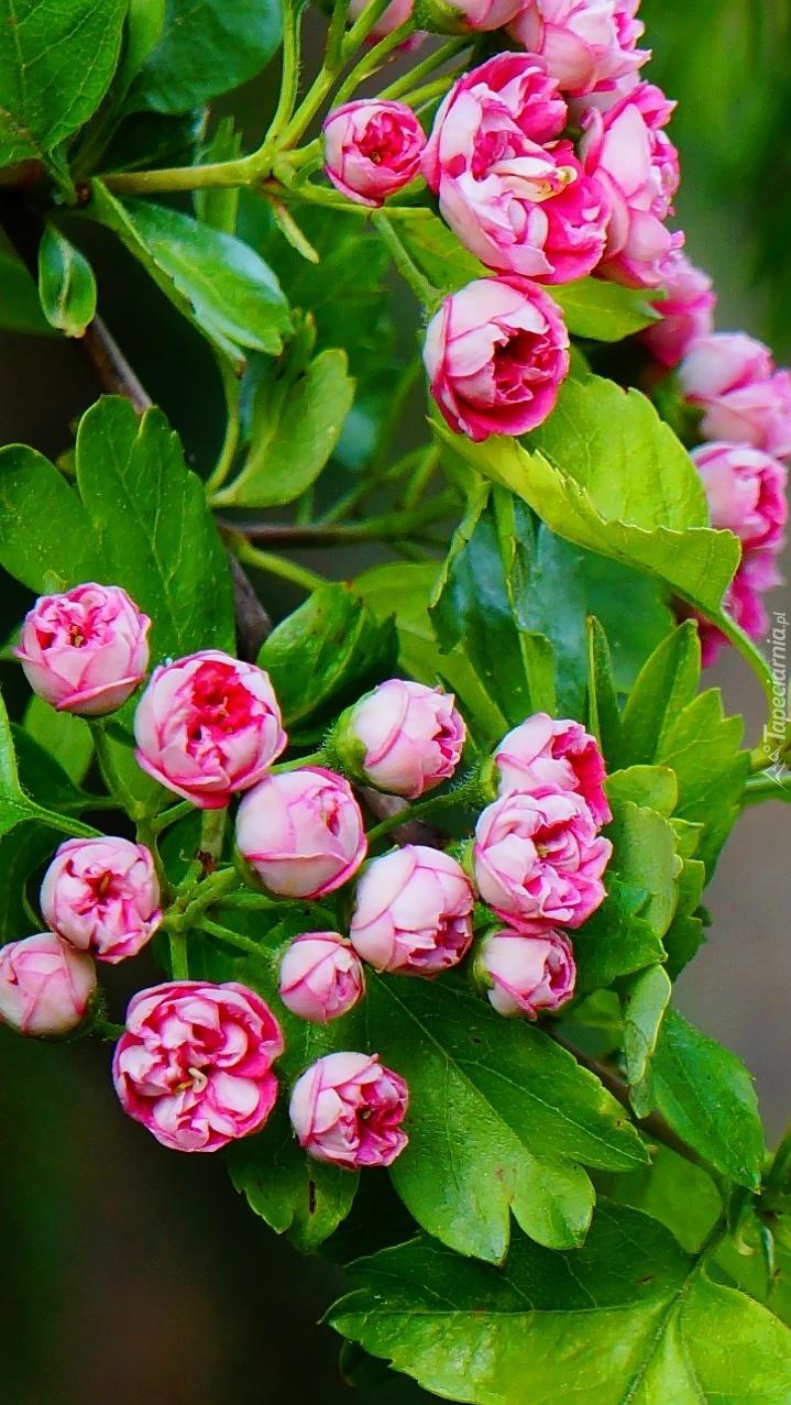 Kwitnąca gałązka głogu