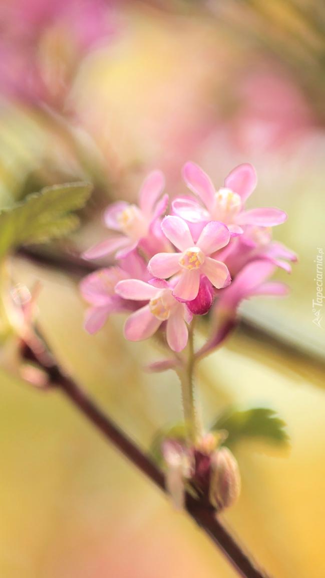 Kwitnąca gałązka porzeczki krwistej