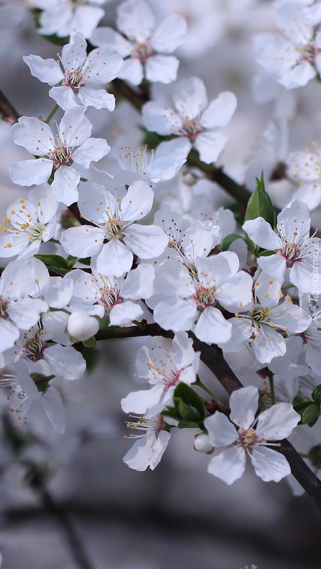 Kwitnąca gałązka śliwy mirabelki