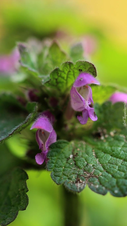 Kwitnąca jasnota purpurowa