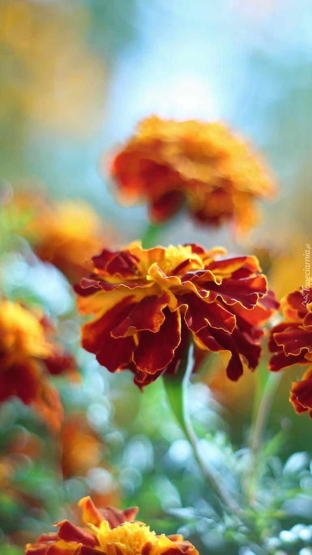 Kwitnące aksamitki