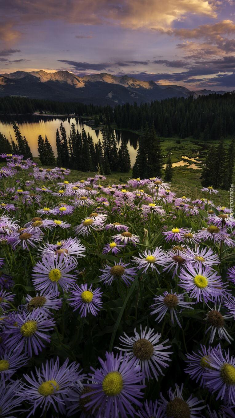 Kwitnące astry na górskiej polanie