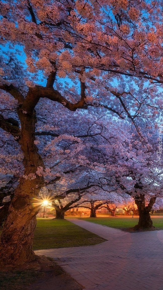 Kwitnące drzewa w parku