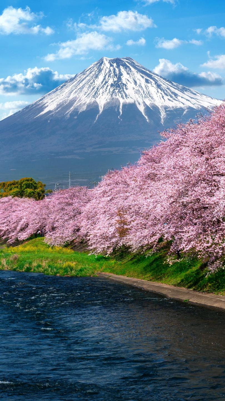 Kwitnące drzewa wiśni japońskiej i góra Fudżi