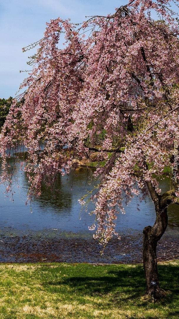 Kwitnące drzewo nad stawem