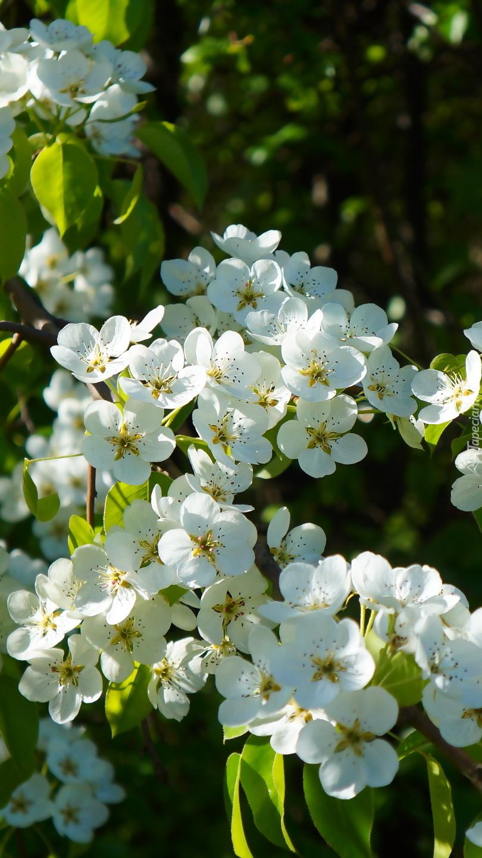 Kwitnące drzewo owocowe