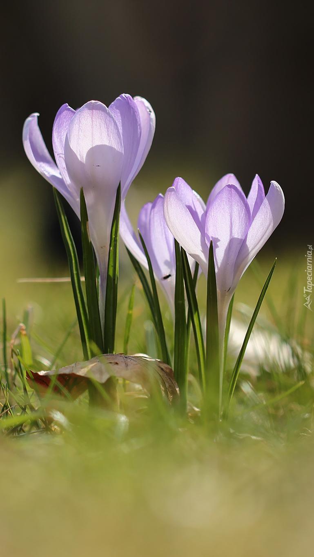 Kwitnące krokusy wiosną