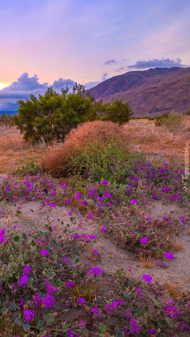 Kwitnące kwiaty na łące w parku Anza Borrego Desert