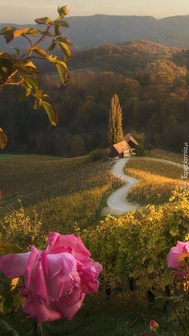 Kwitnące róże na tle wzgórz