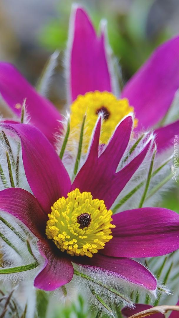 Kwitnące sasanki