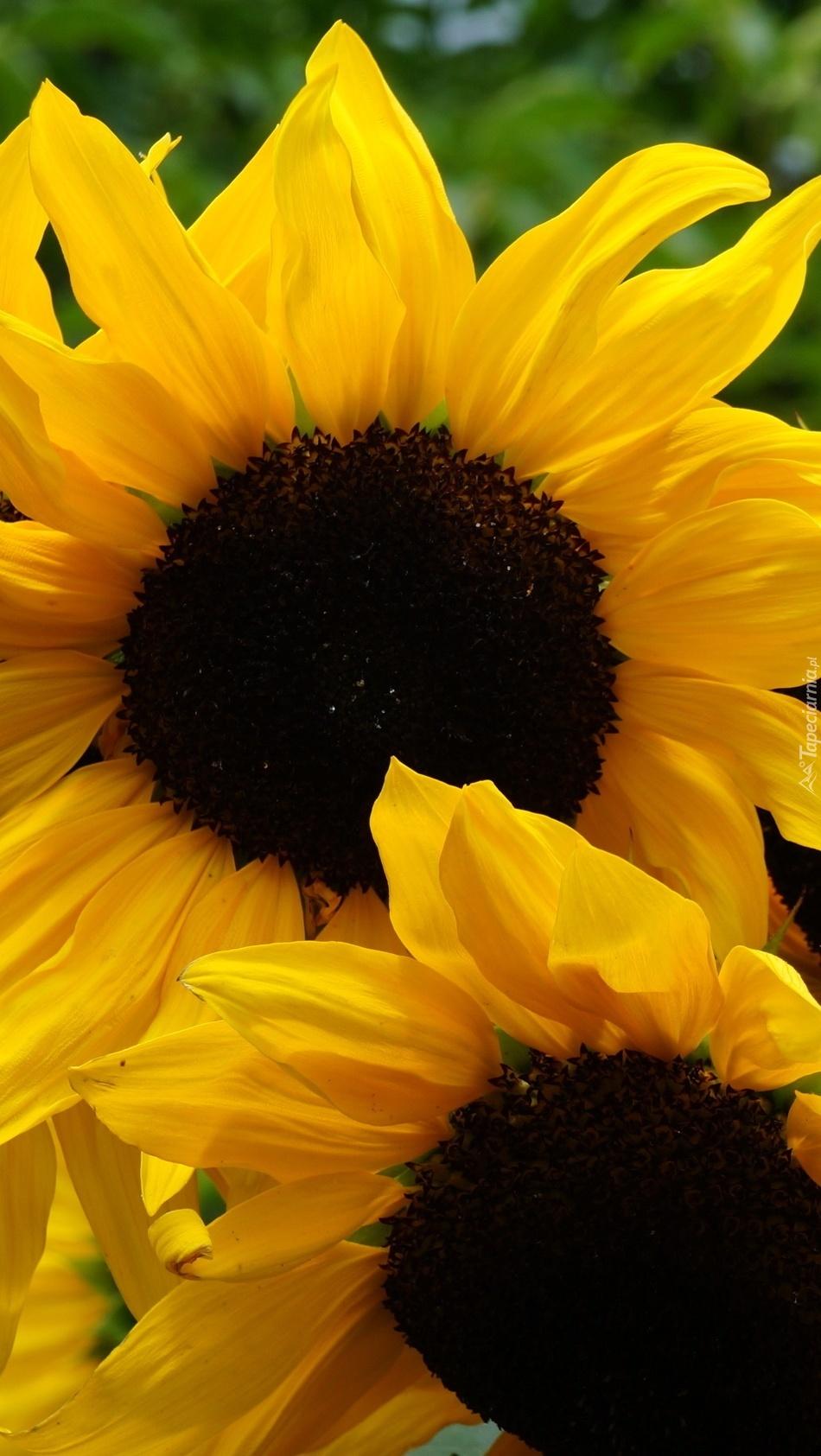 Kwitnące słoneczniki