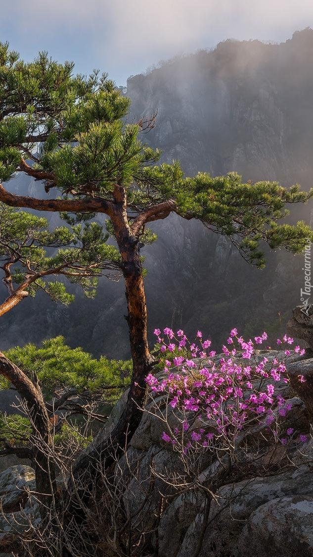 Kwitnący krzew pod sosną na skale