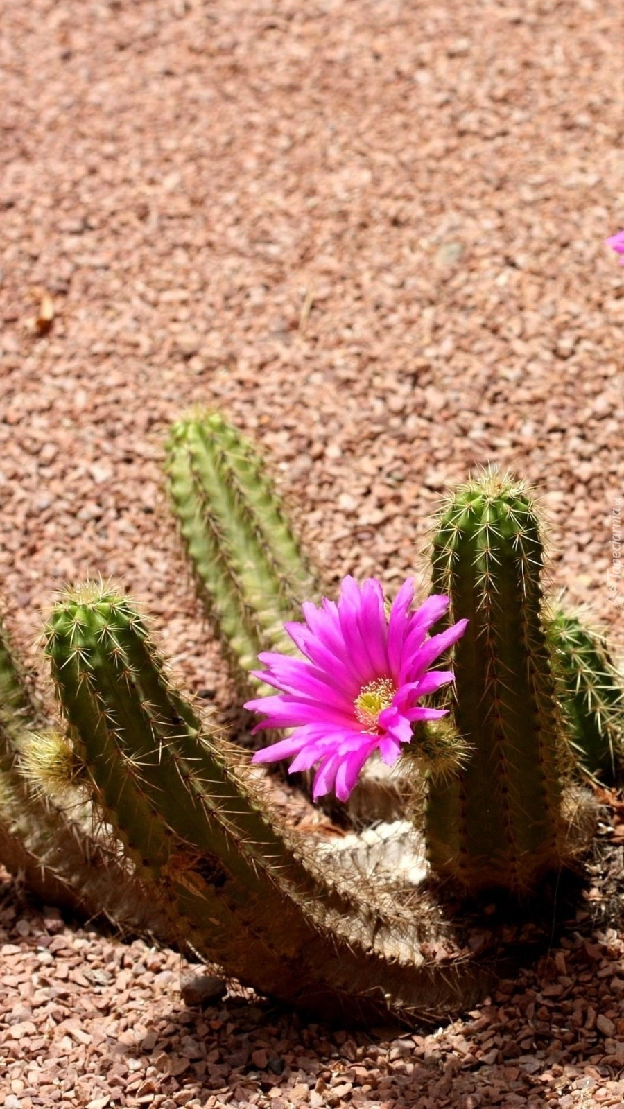 Kwitnący na pustyni kaktus