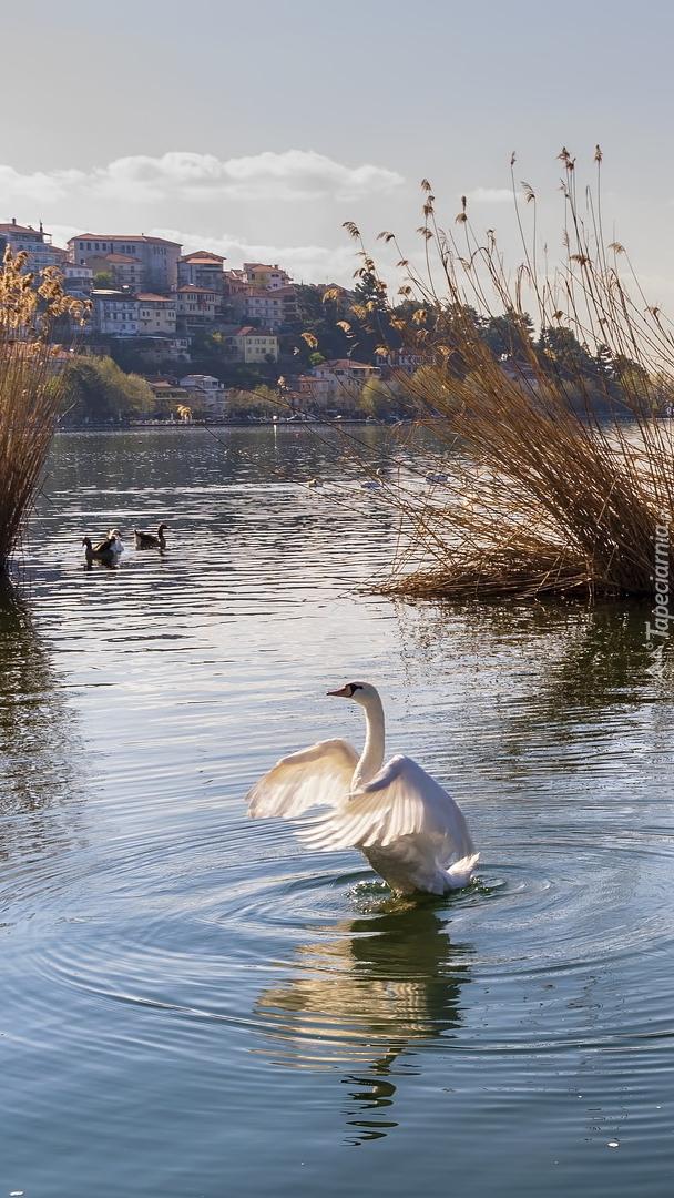 Łabędź na jeziorze
