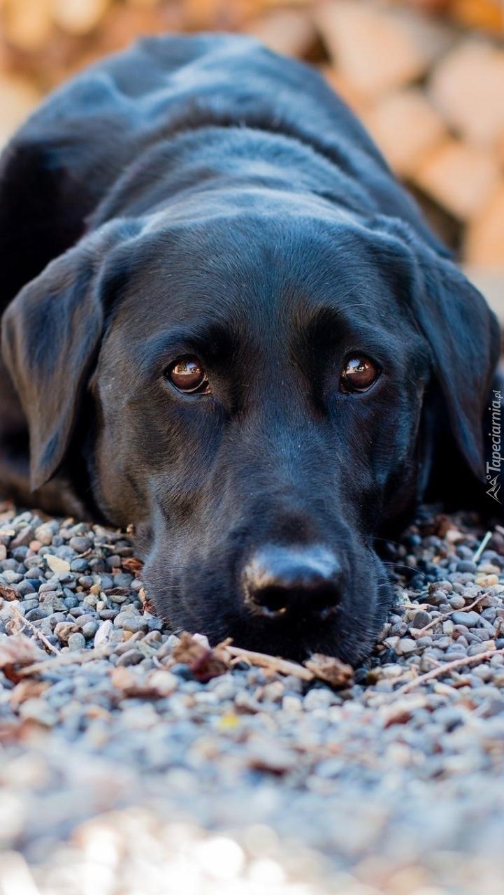 Labrador retriever czuwa