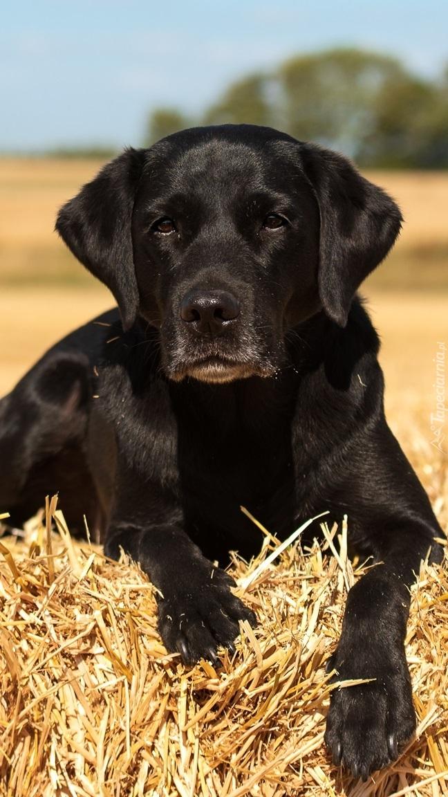 Labrador retriever na słomie