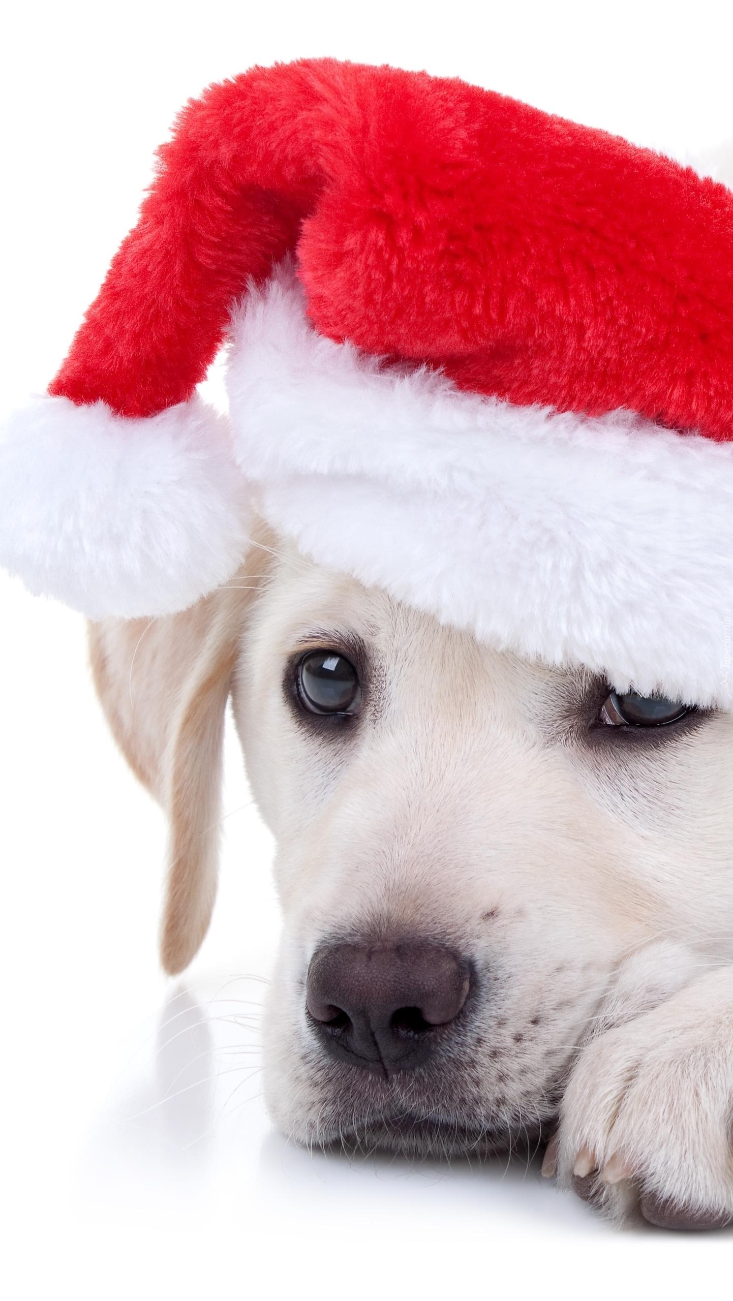 Labrador retriever w czapce Mikołaja
