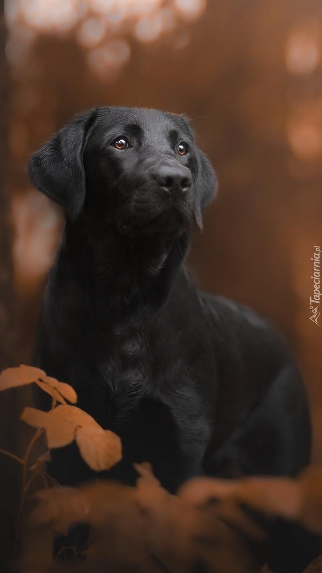 Labrador retriever w liściach