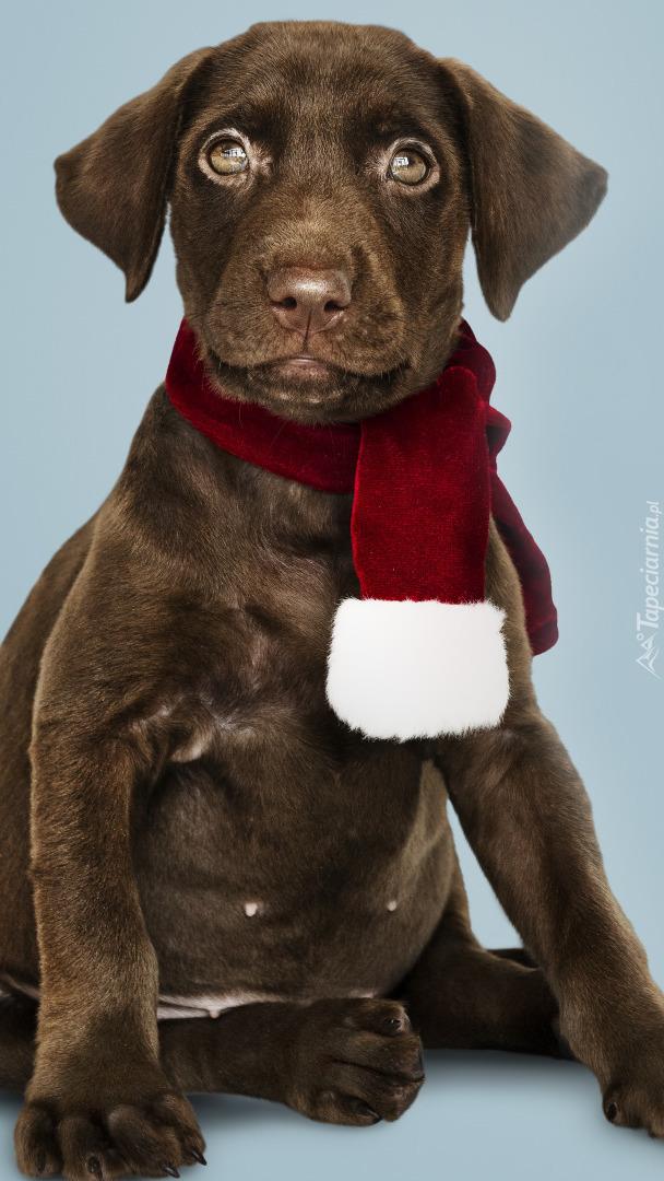 Labrador retriever w szaliku