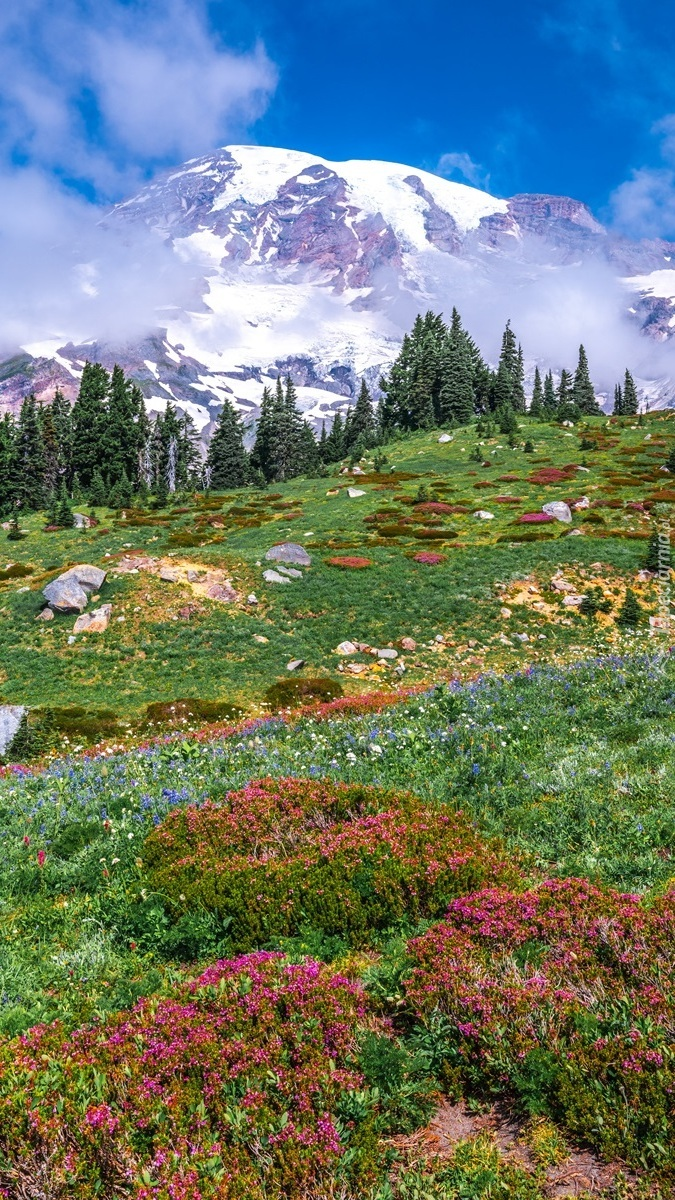 Łąka i stratowulkan Mount Rainier