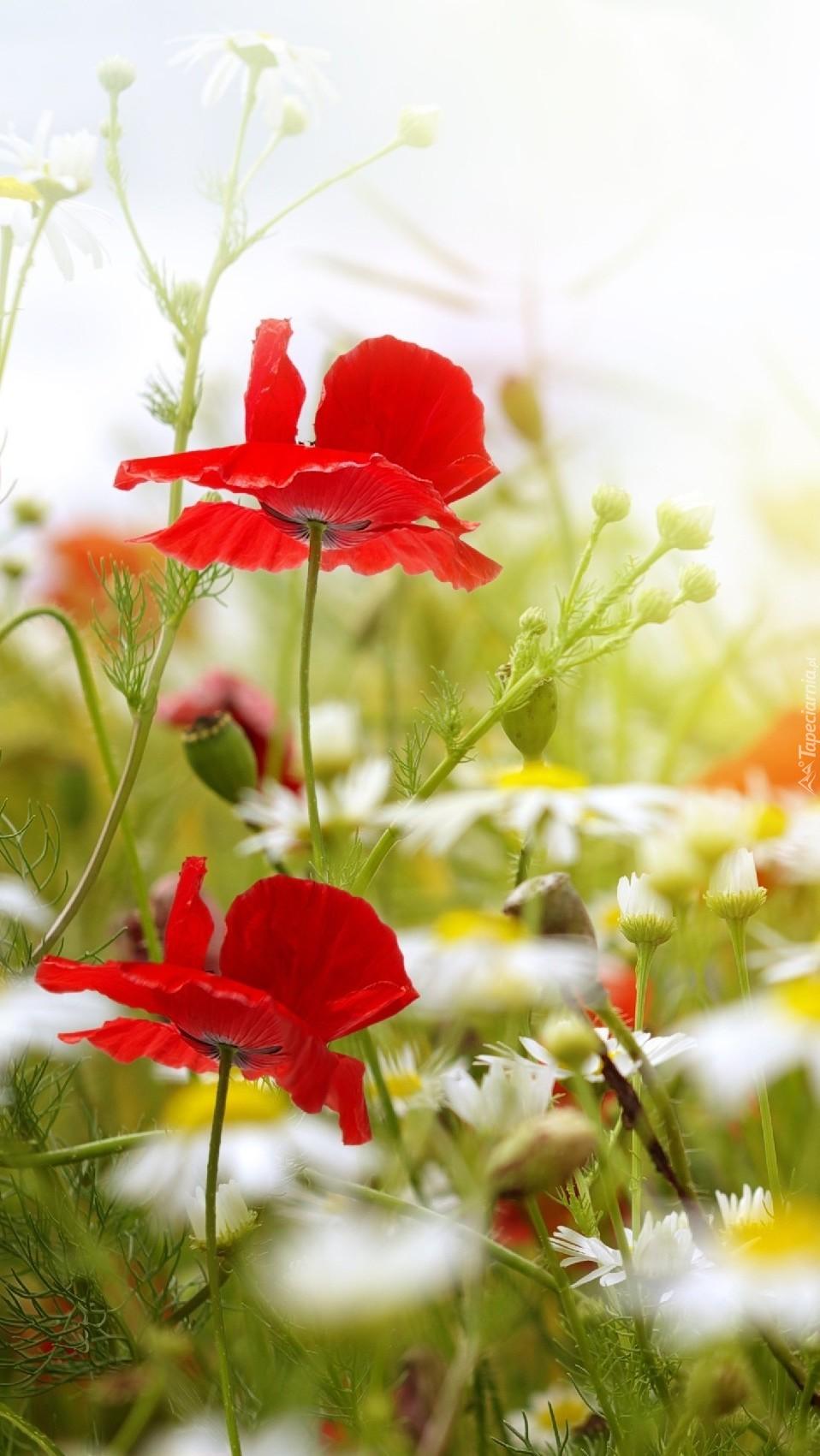 Łąka obsypana kwiatami rumianku i makami