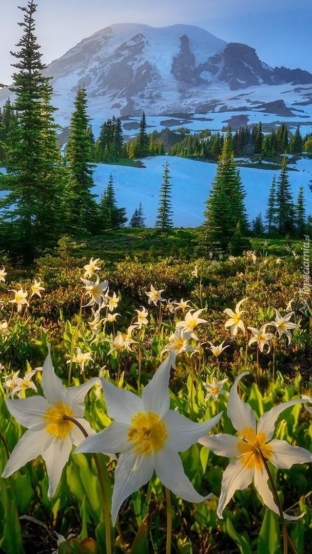Łąka z psizębami na tle stratowulkanu Mount Rainier