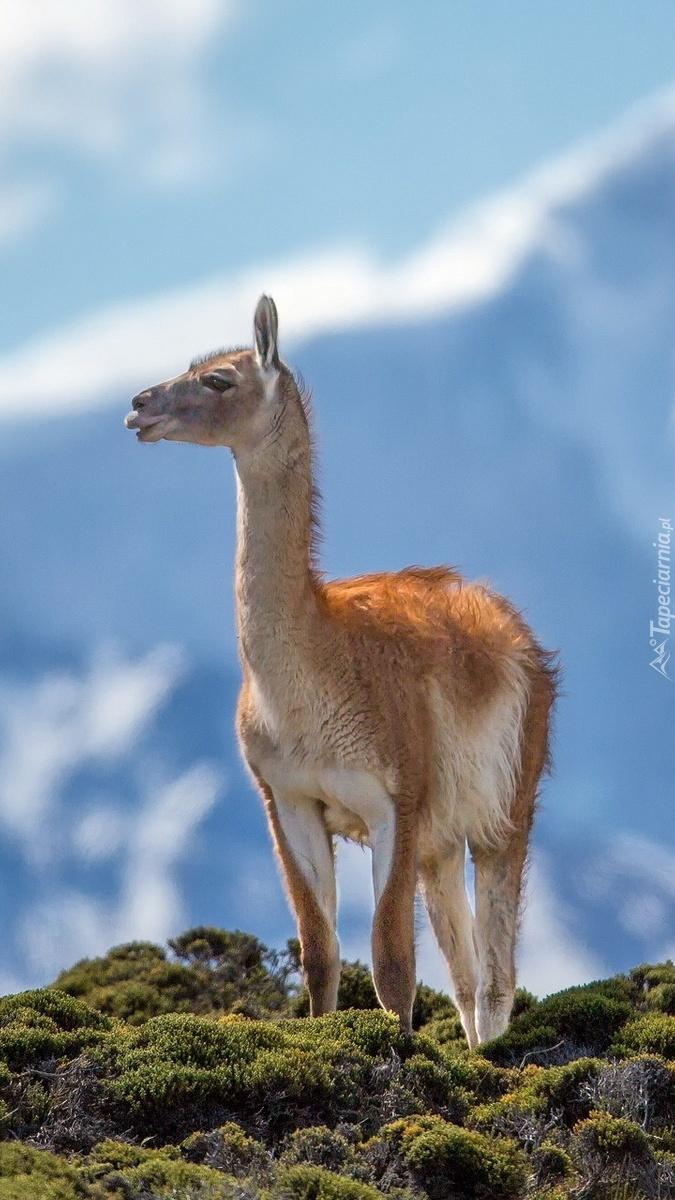 Lama na skałach w górach