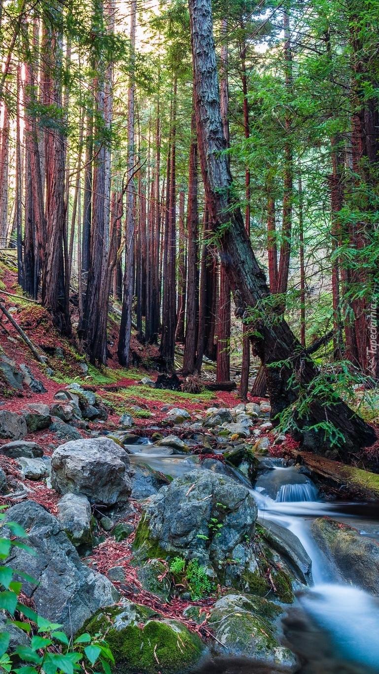 Las w Parku Narodowym Redwood