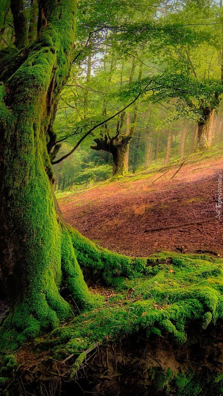 Las z omszałymi drzewami