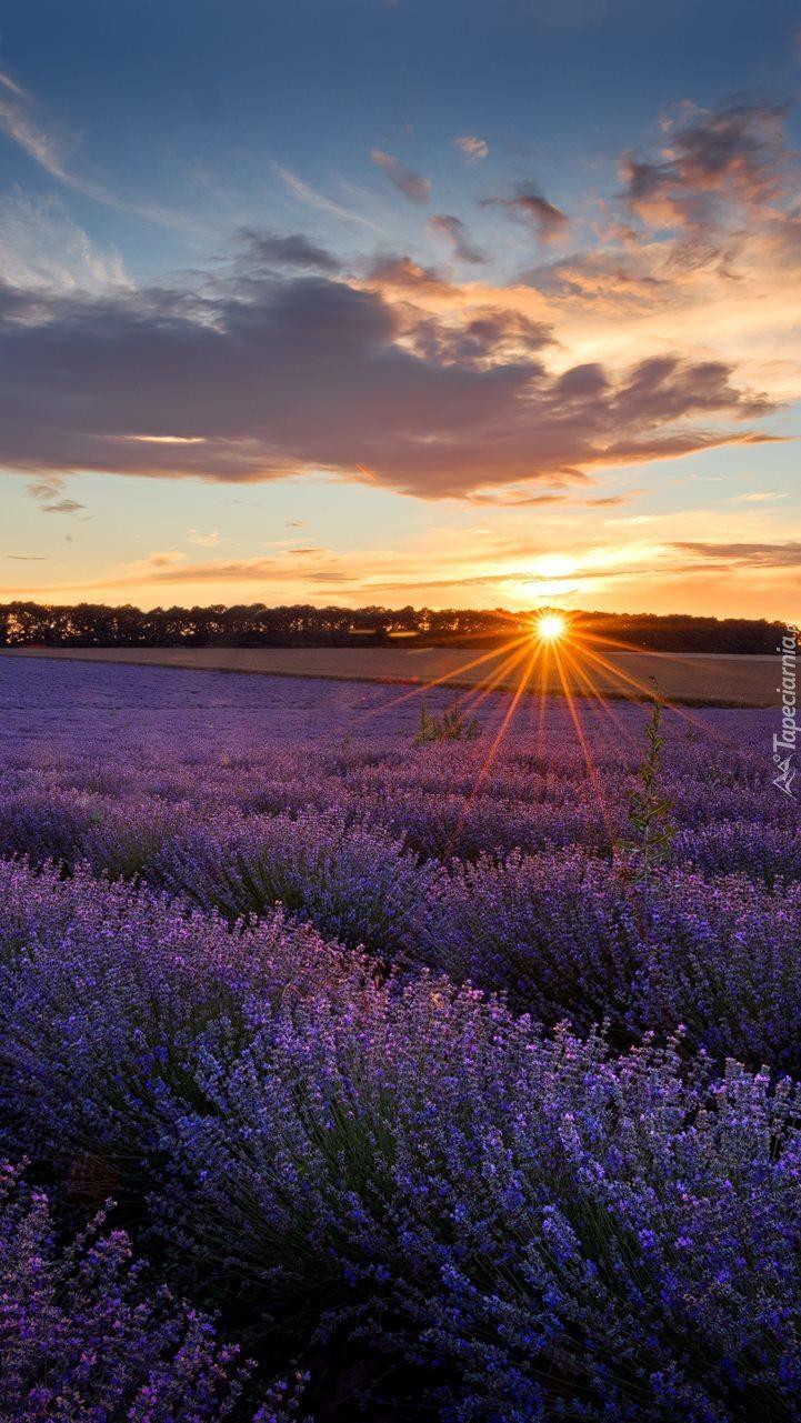 Lawendowe pole w promieniach słońca