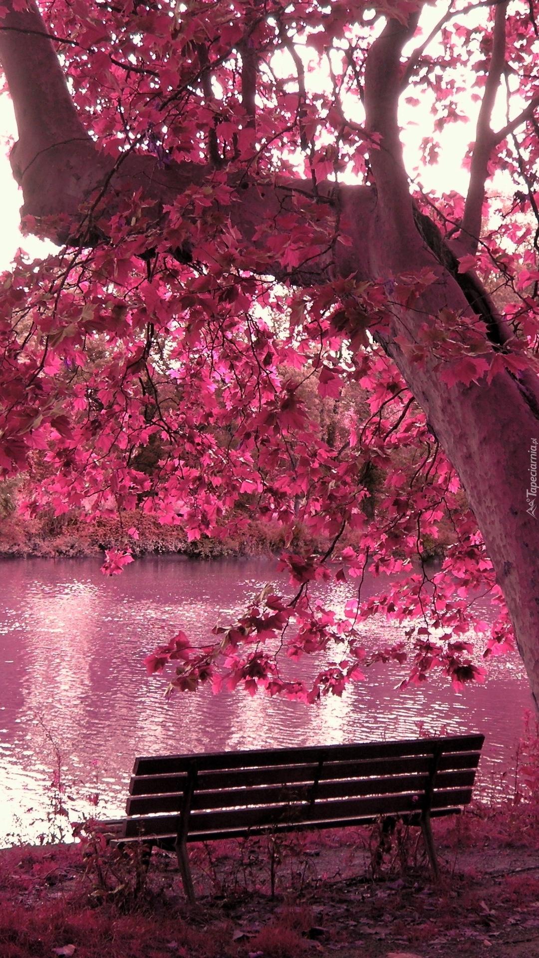 Ławka pod różowym drzewem