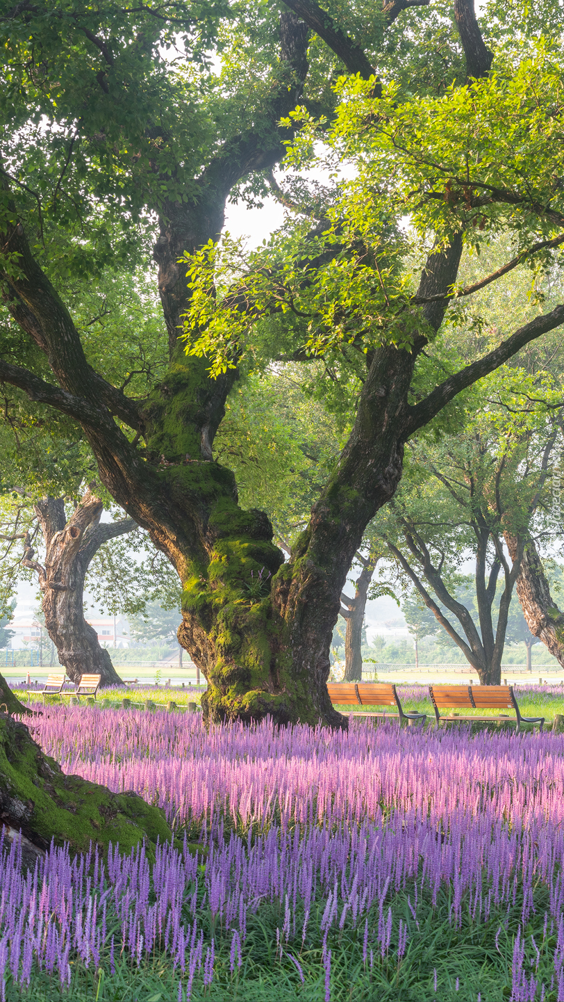 Ławki pod rozłożystym drzewem w parku
