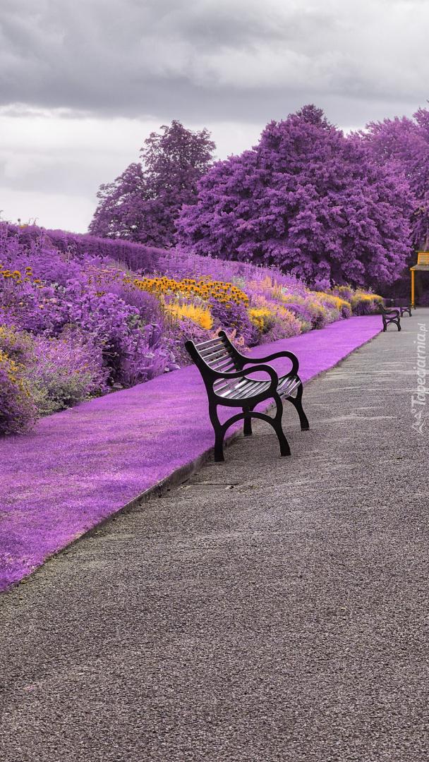 Ławki w alejce wśród fioletowych krzewów
