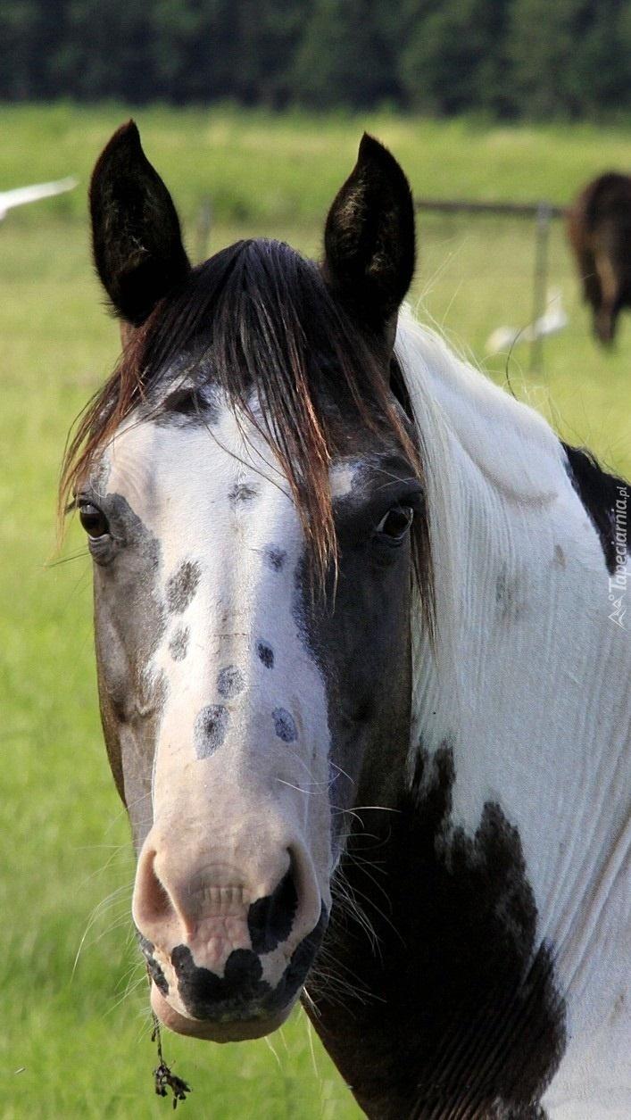 Łeb łaciatego konia