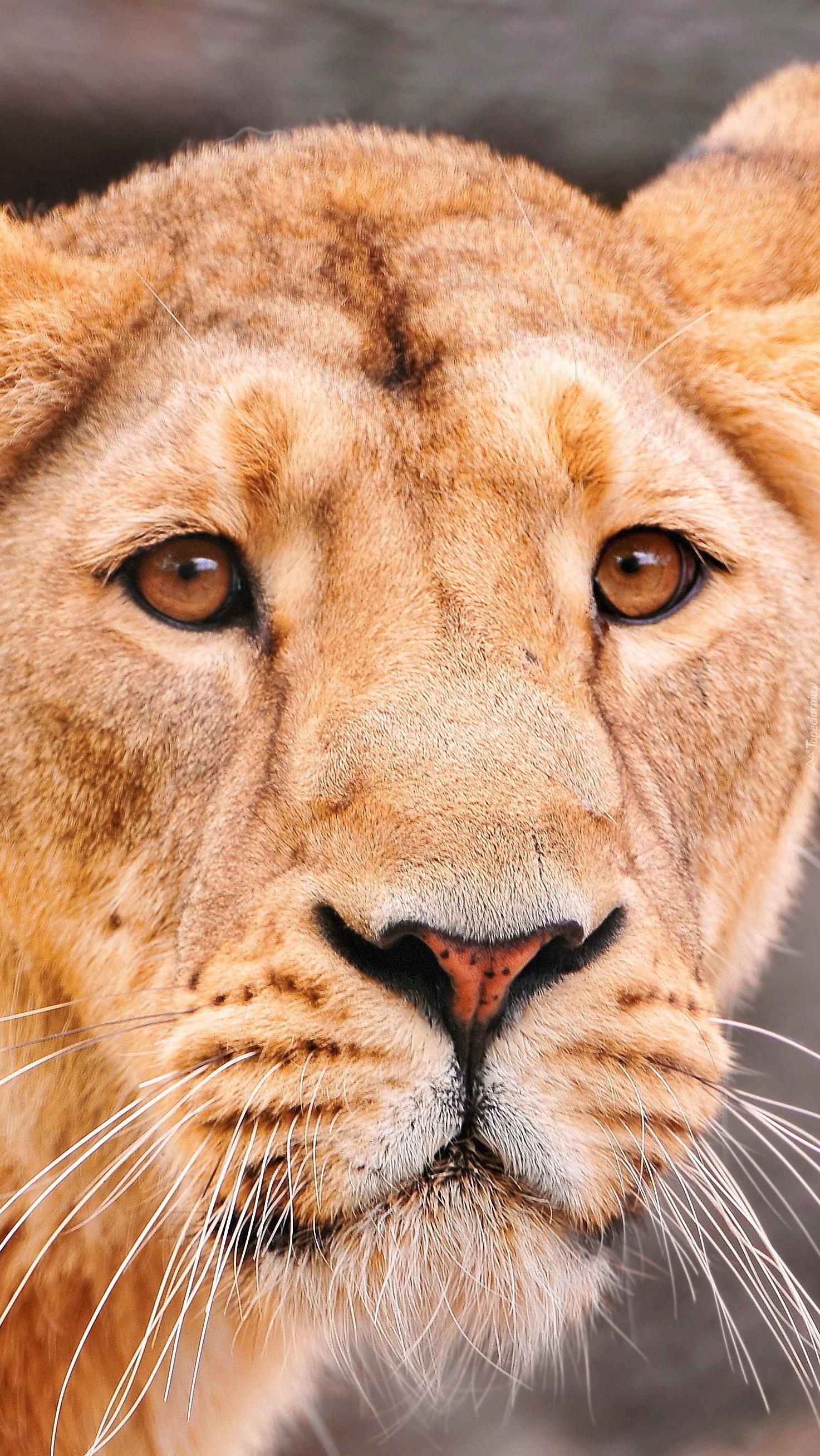 Łeb lwicy