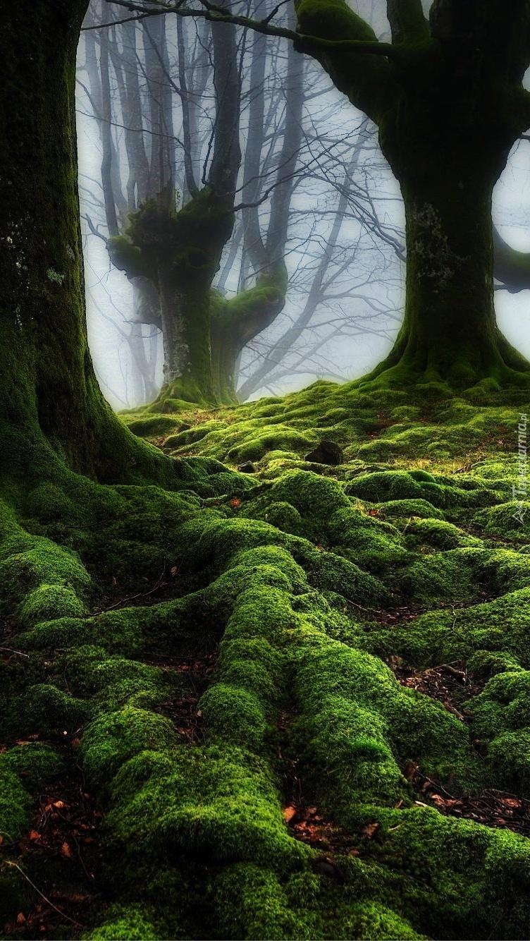 Leśne drzewa z korzeniami w objęciach mchu