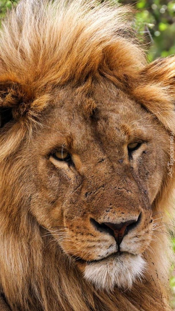Lew w zbliżeniu