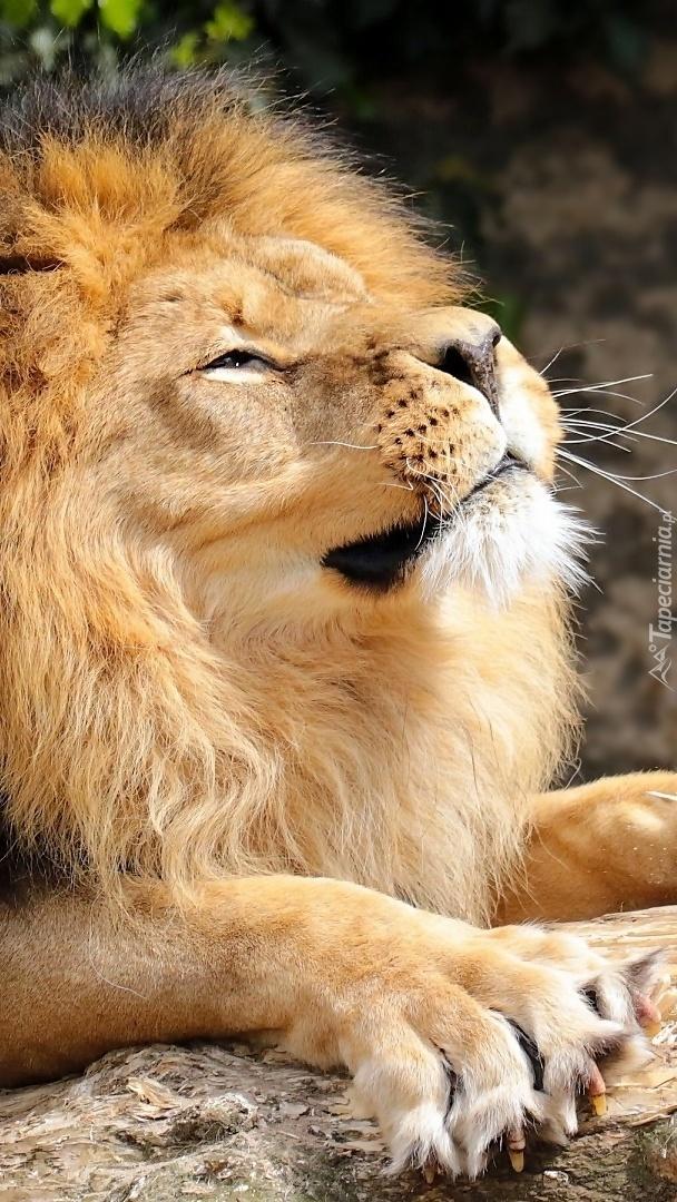 Lew wygrzewający się w słońcu