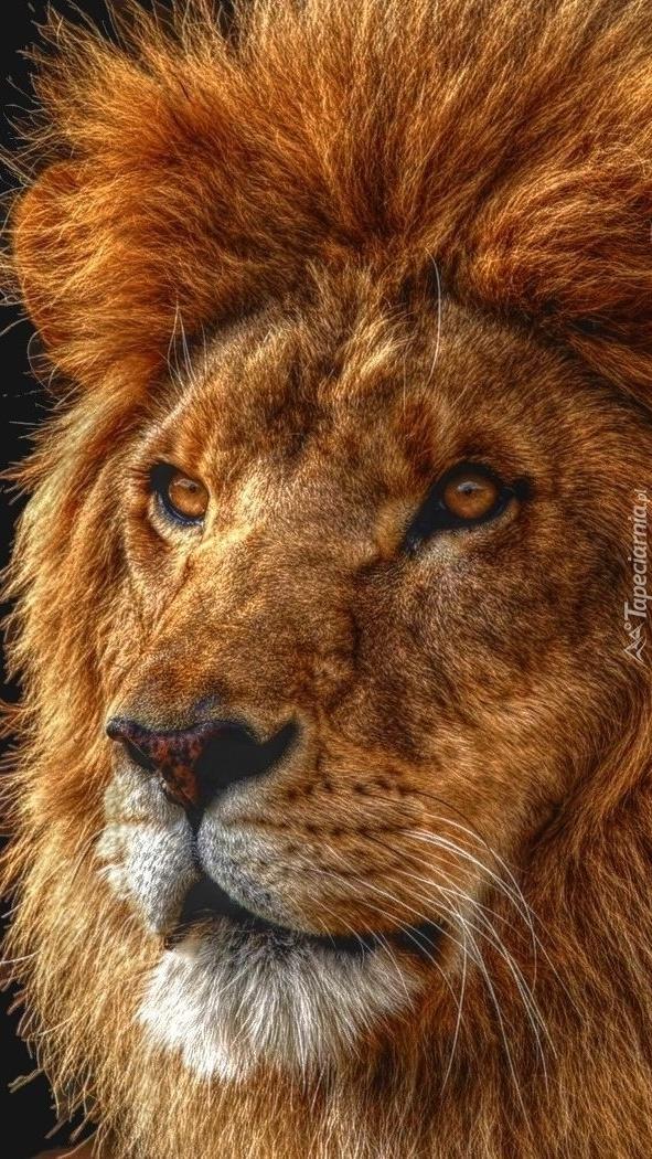 Lew z nastroszoną grzywą