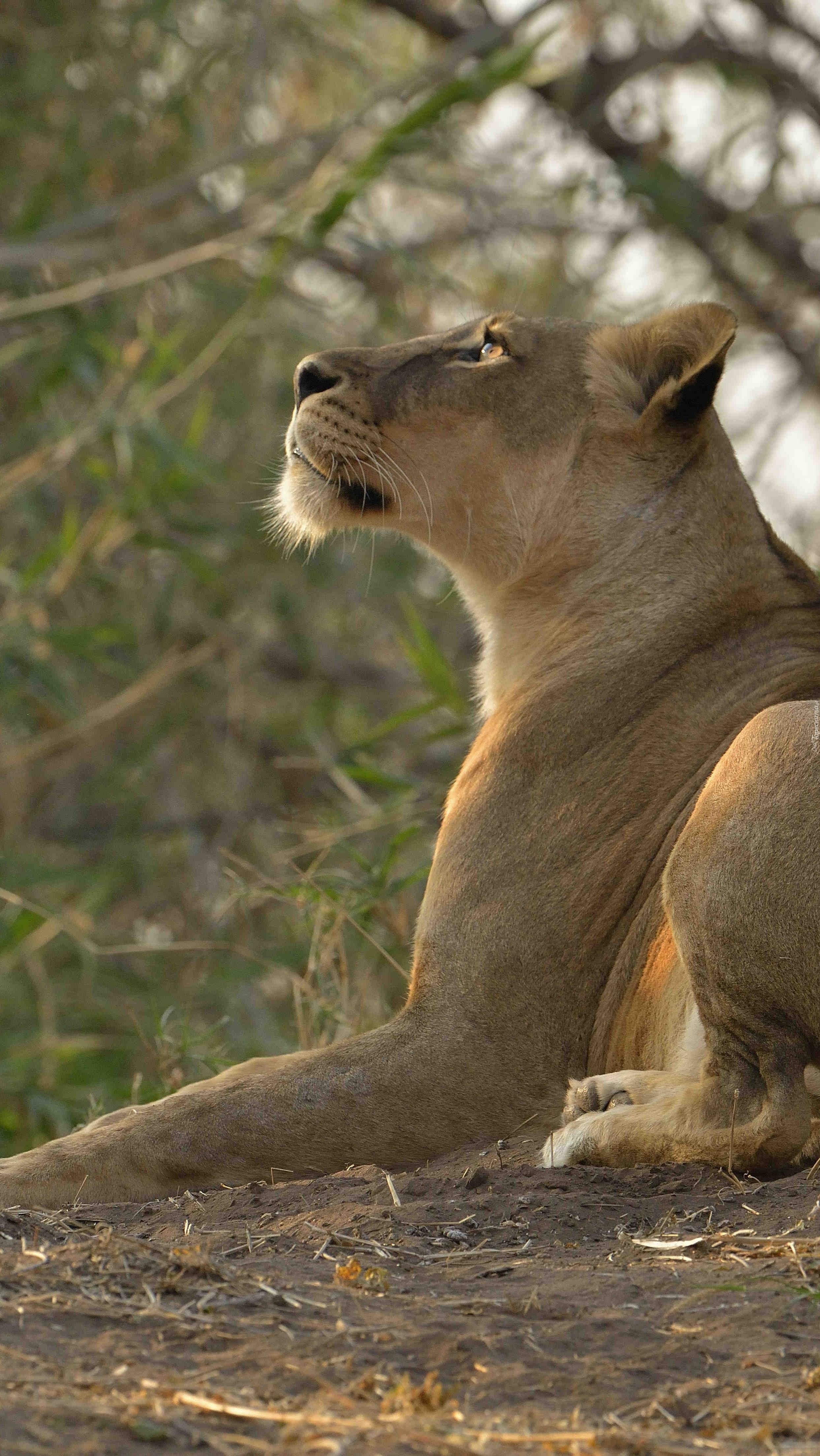 Leżąca lwica spoglądająca w górę