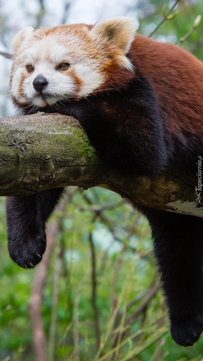 Leżąca panda mała